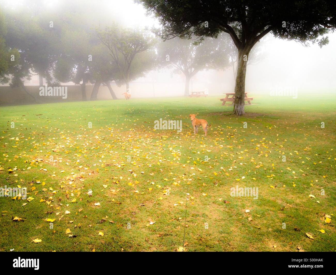 Terrier-Chihuahua mix dog looks on at Jindo mix at foggy park - Stock Image