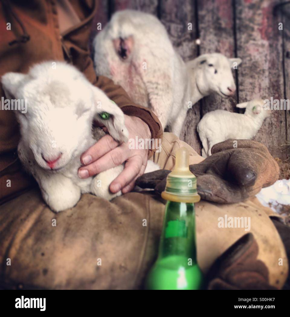 Bottle fed baby sheep on farmers lap - Stock Image