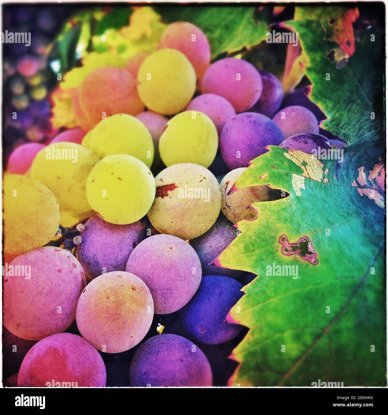 Bunch of colorful grapes - Stock Image