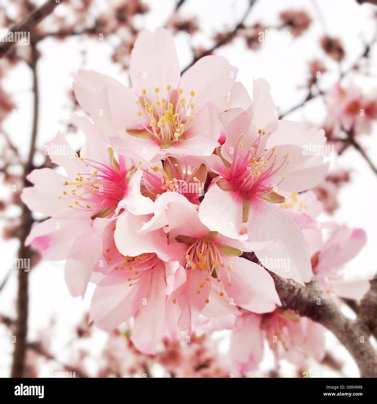 Spring day in February. All the almond trees are in bloom. - Stock Image