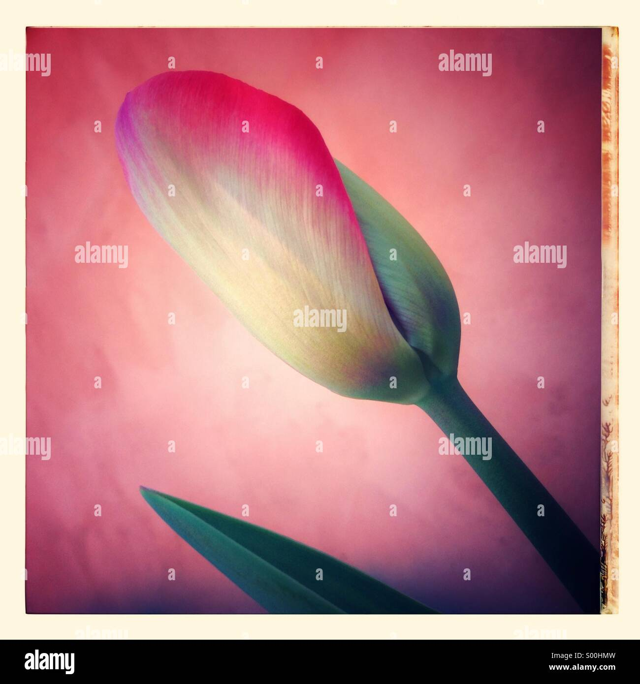 Tulip flower in pink background - Stock Image