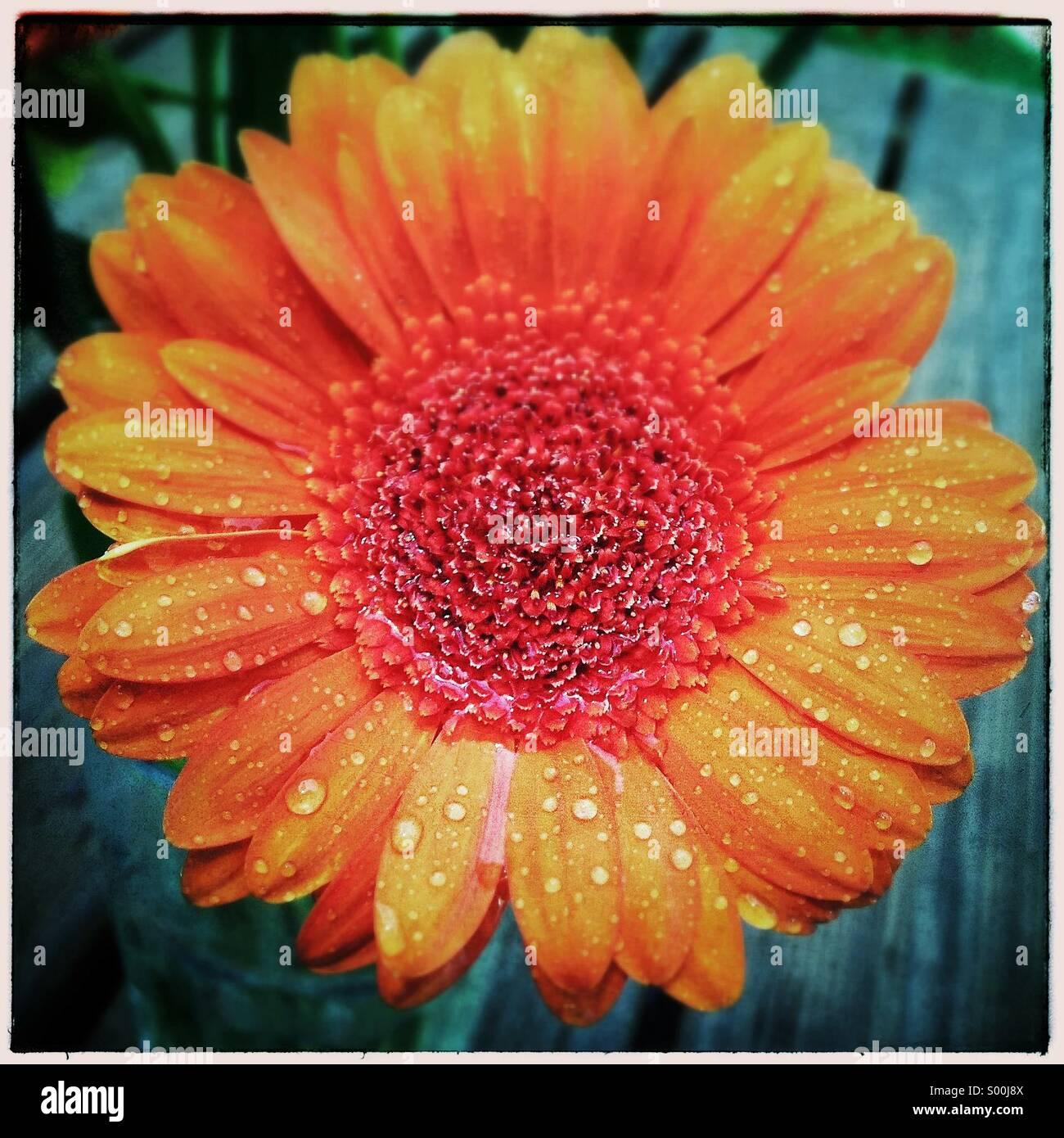 Daisy. Orange gerber wet daisy flower - Stock Image