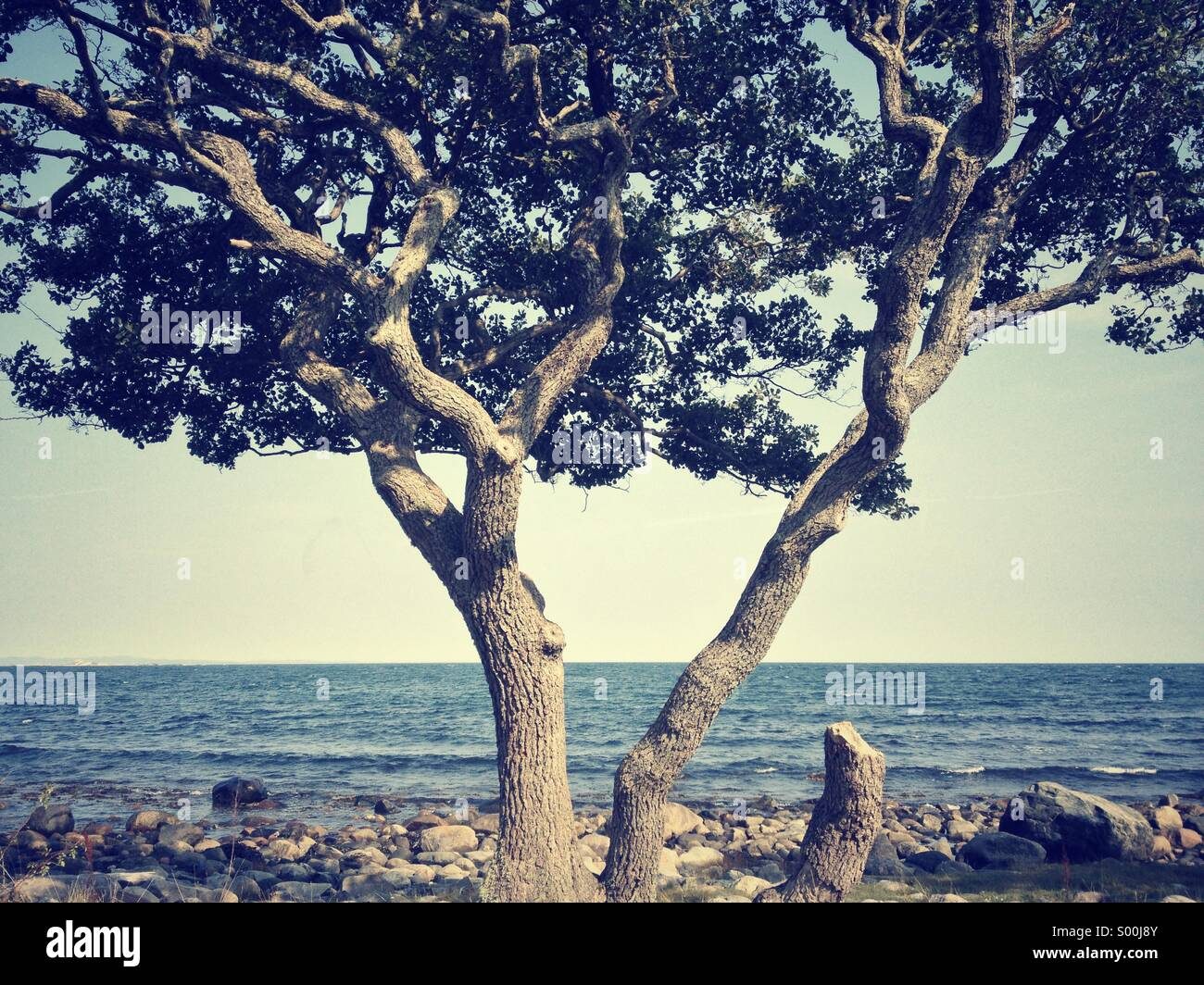 Old, crooked tree on rocky beach, Jomfruland, Norway - Stock Image