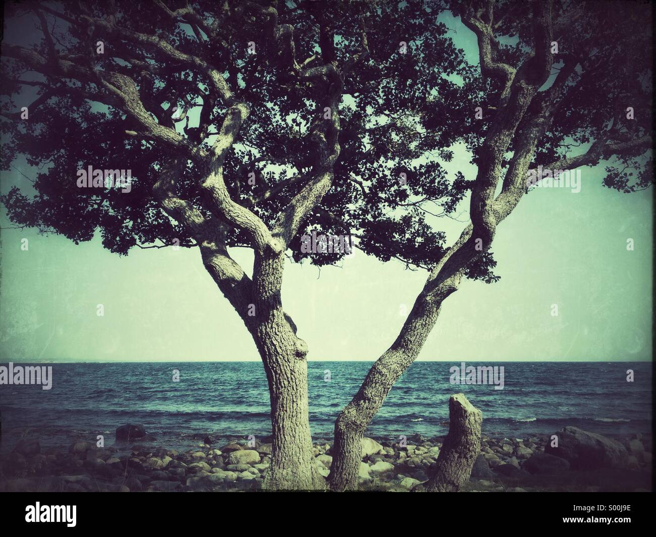 Grungy photo of lone tree on rocky beach, Jomfruland, Norway - Stock Image