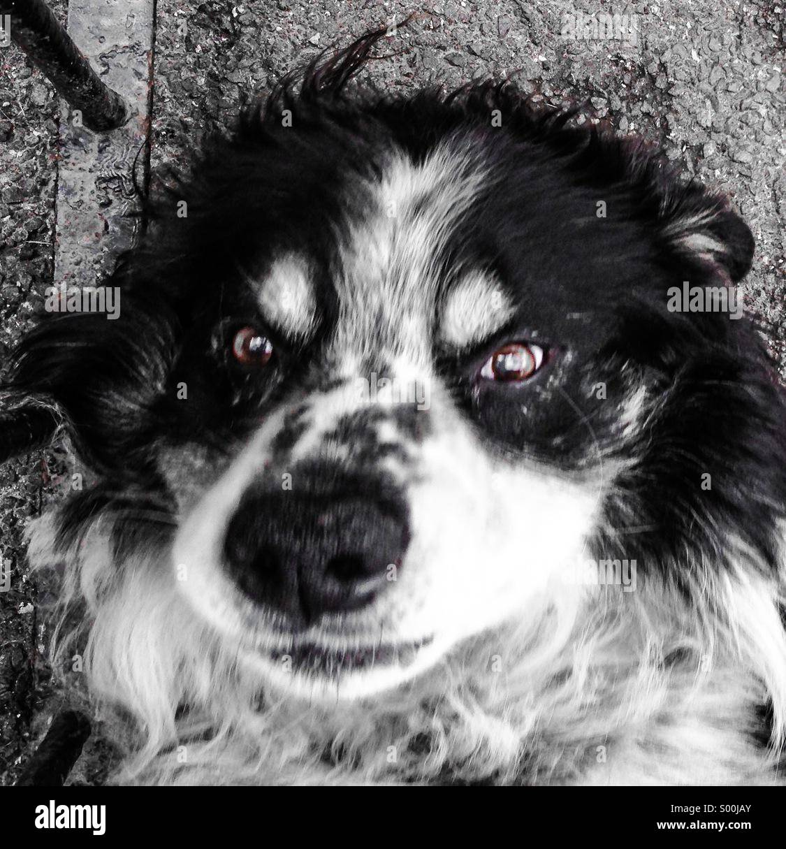 Collie Dog lying down looking straight up - Stock Image