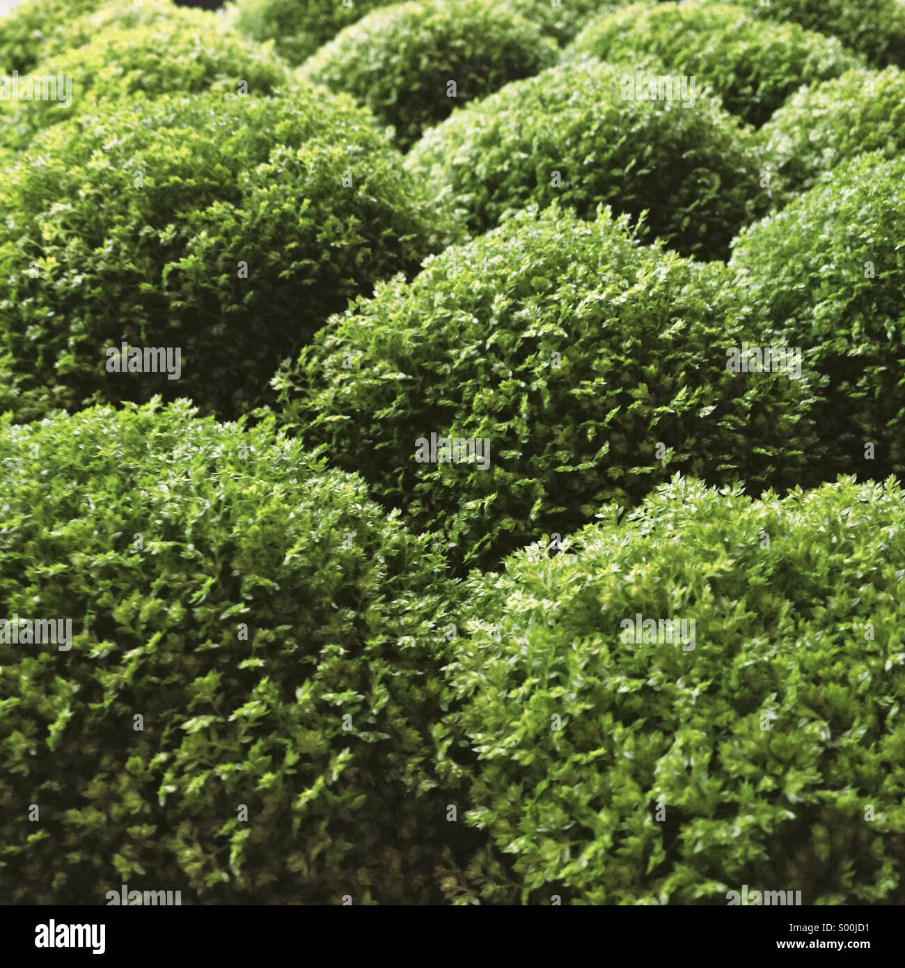 Ornamental bush - Stock Image
