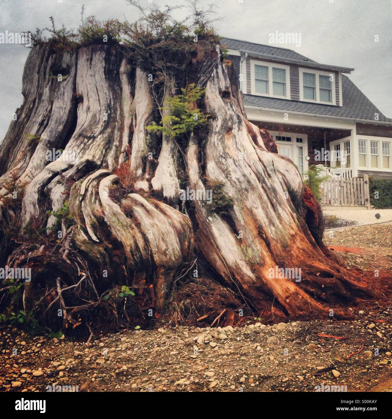 Old growth tree stump next to a newly built home - Stock Image