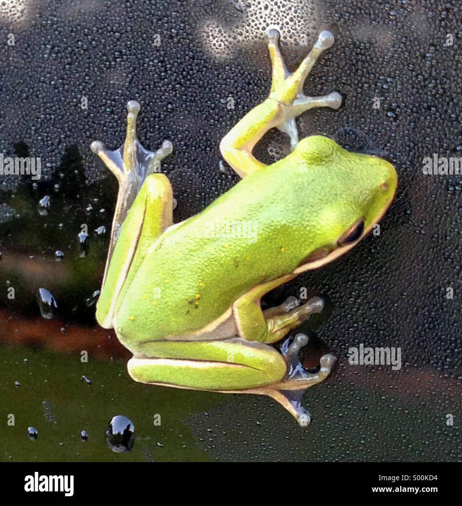 A green frog climbs the windshield covered with morning dew. - Stock Image