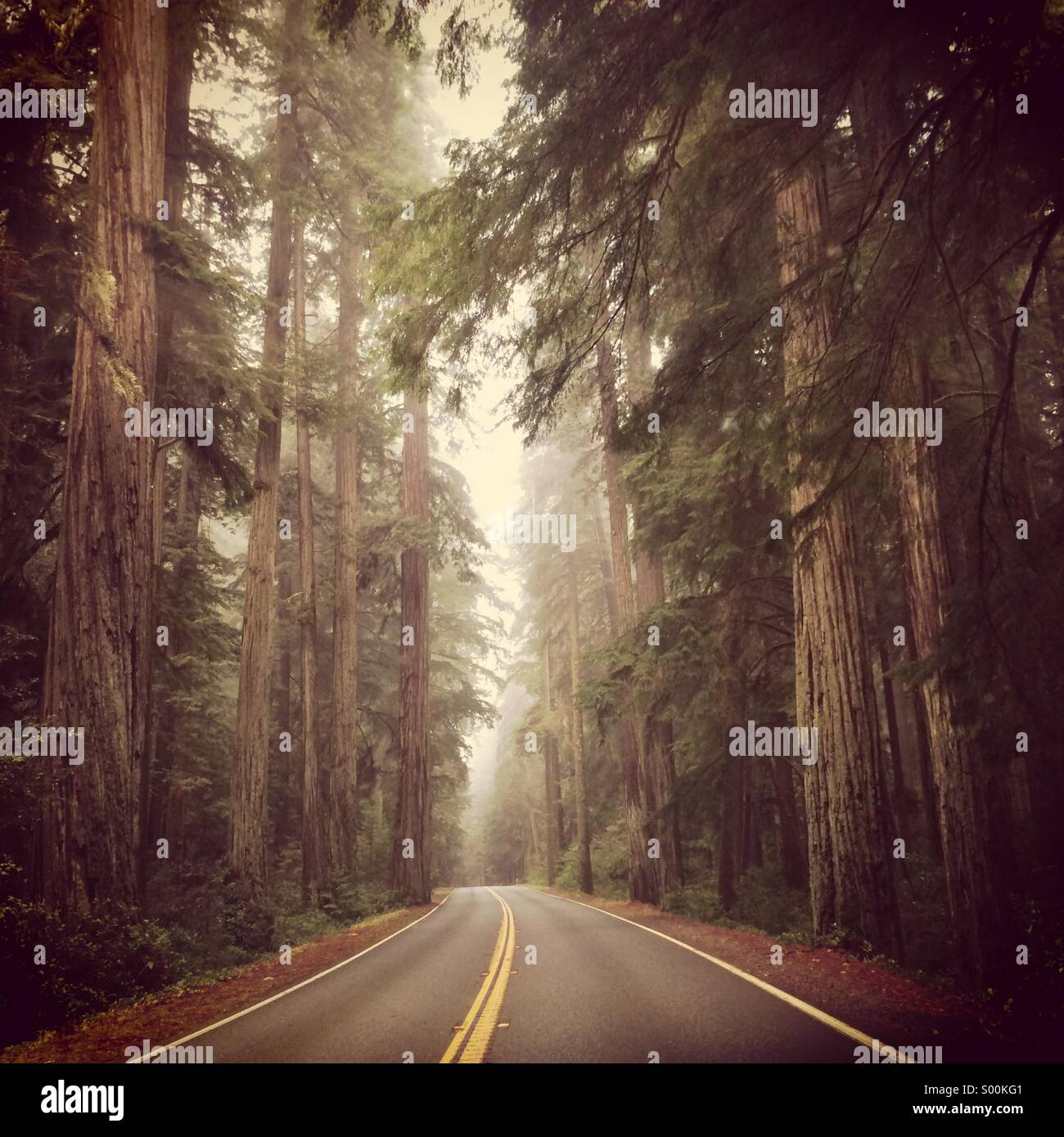 Driving through the Redwoods. - Stock Image