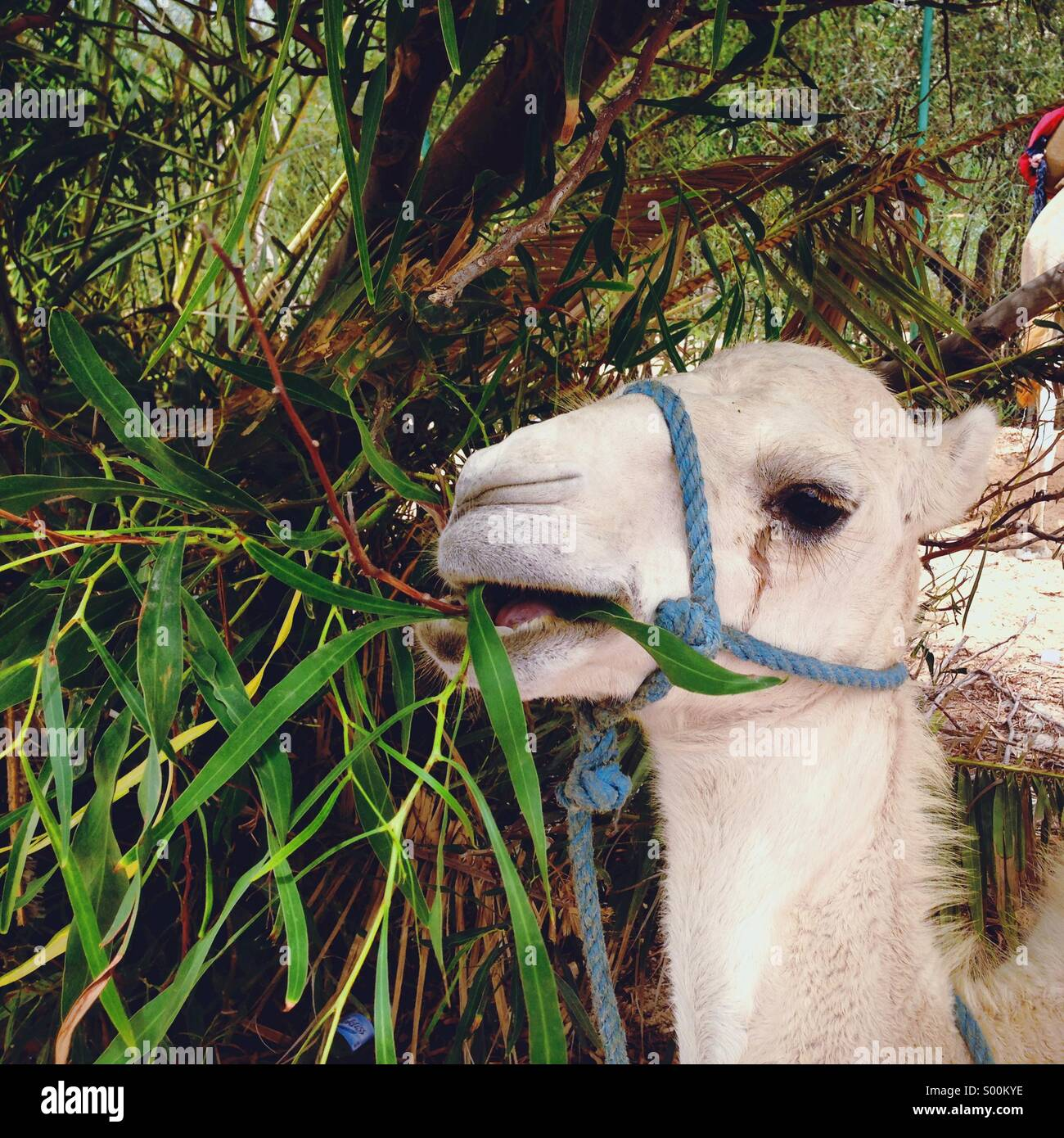Camel eating leafs - Stock Image