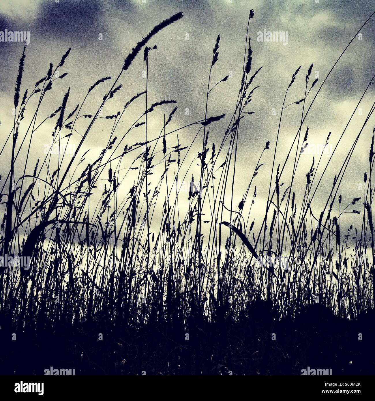 Silhouette of long grass on a gloomy day - Stock Image