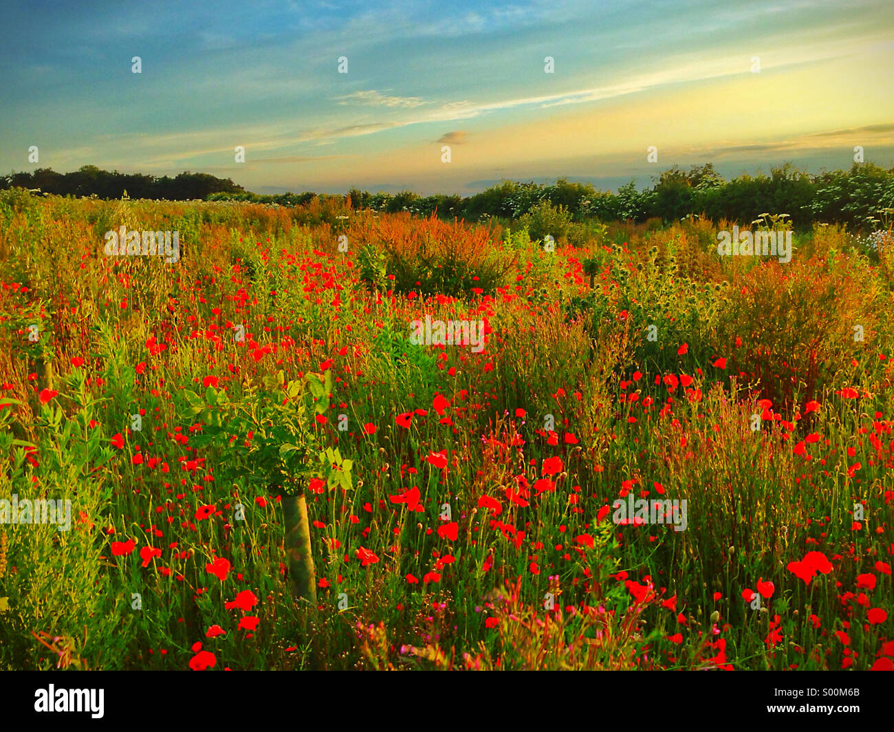 Poppy Field at Sunset Stock Photo