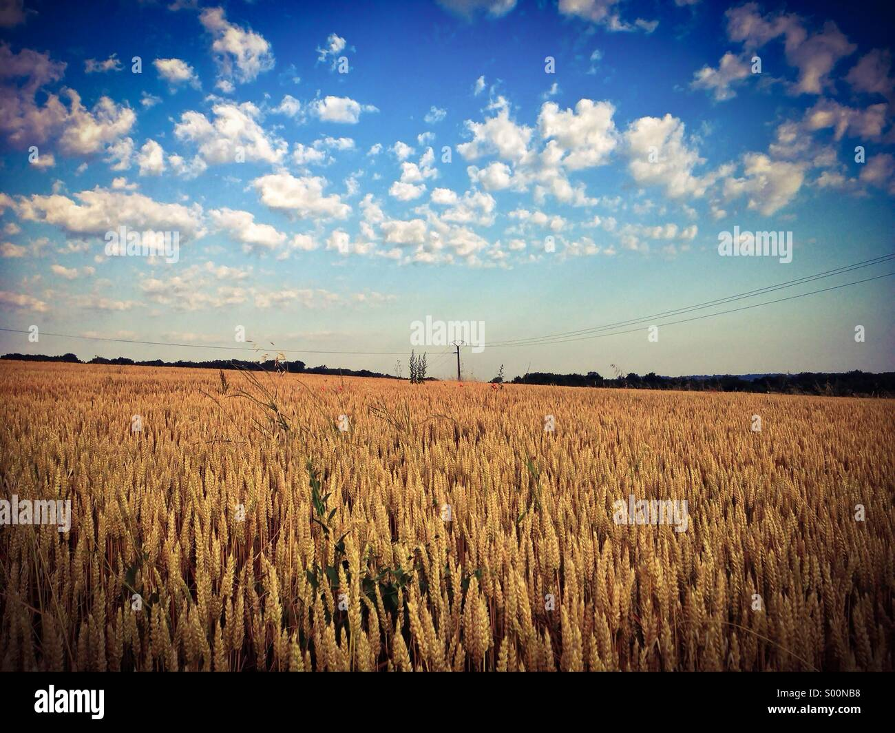 Field of Wheat in the Sunshine - Stock Image
