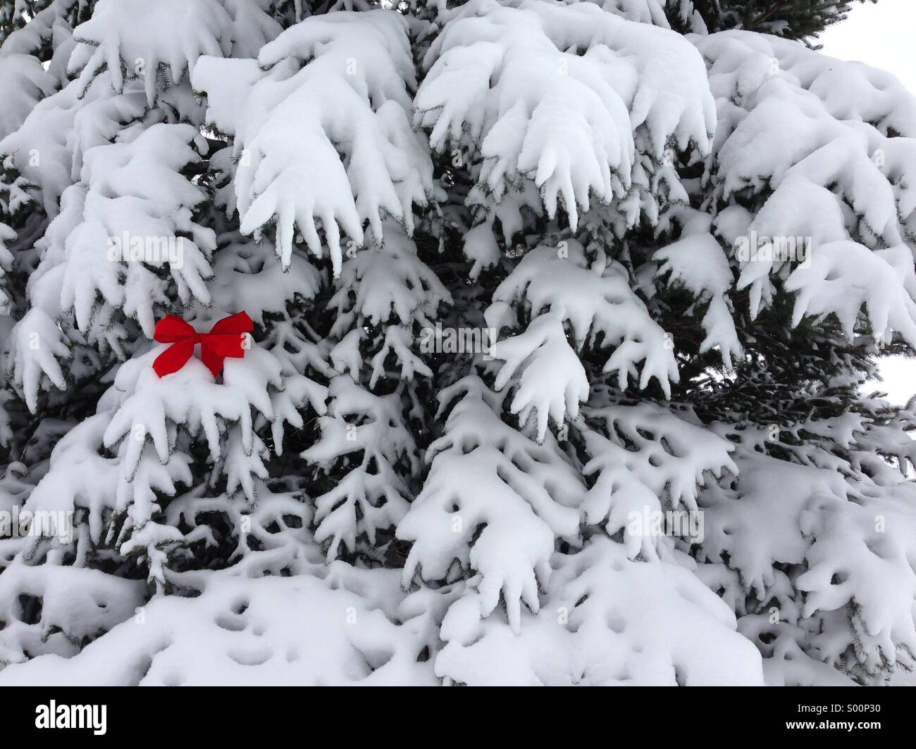 A red bow on the fresh snow of a pine tree. - Stock Image