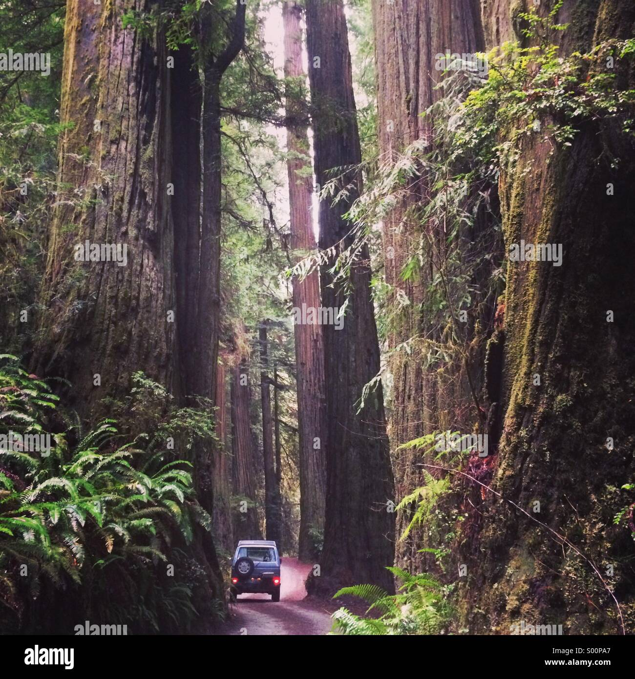 Exploring the giant redwoods of Northern California. Stock Photo