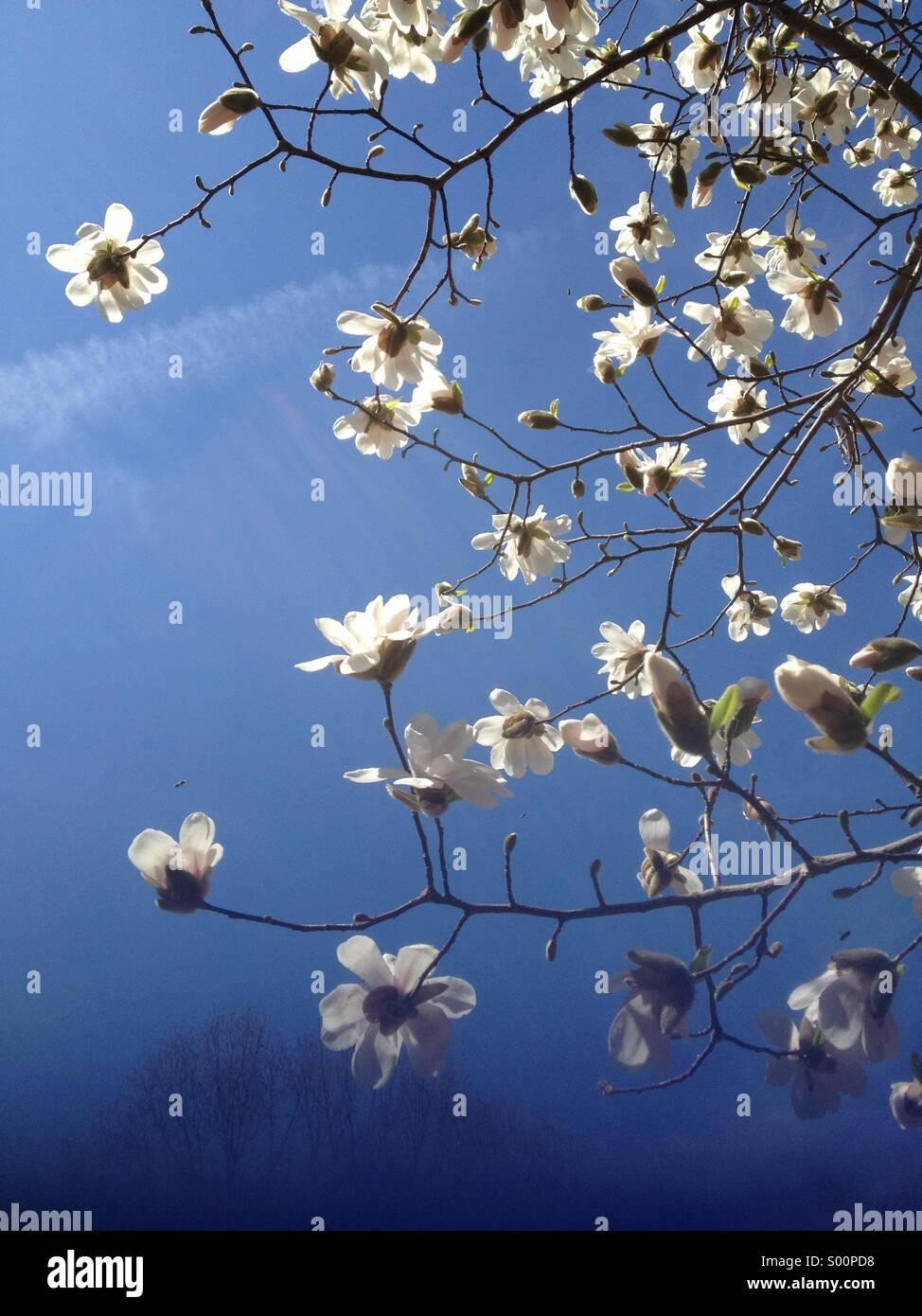 Spring Magnolias - Stock Image