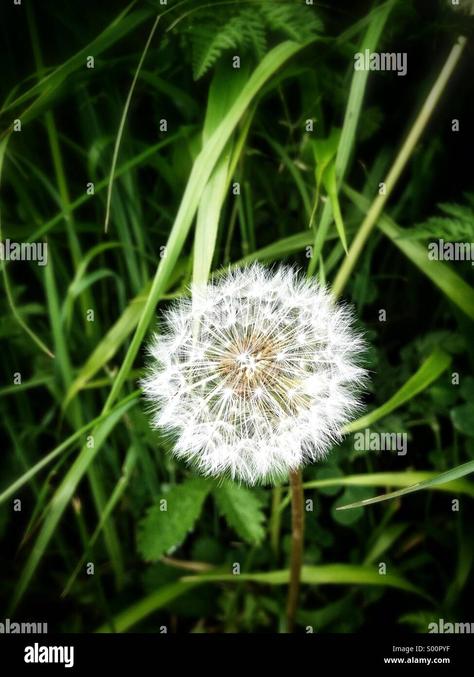 Dandelion surrounded by grass - Stock Image