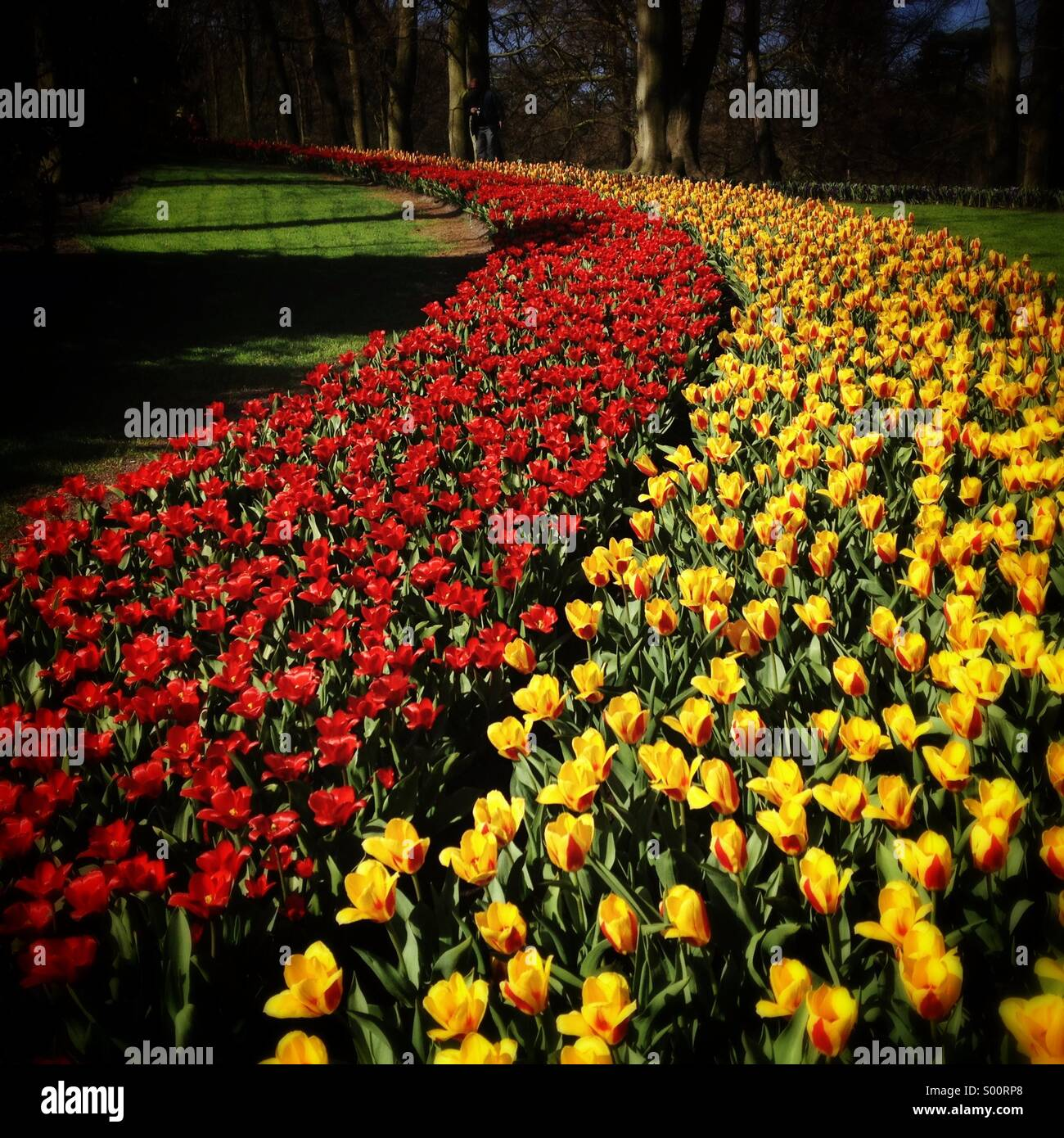 Tulips blooming - Stock Image