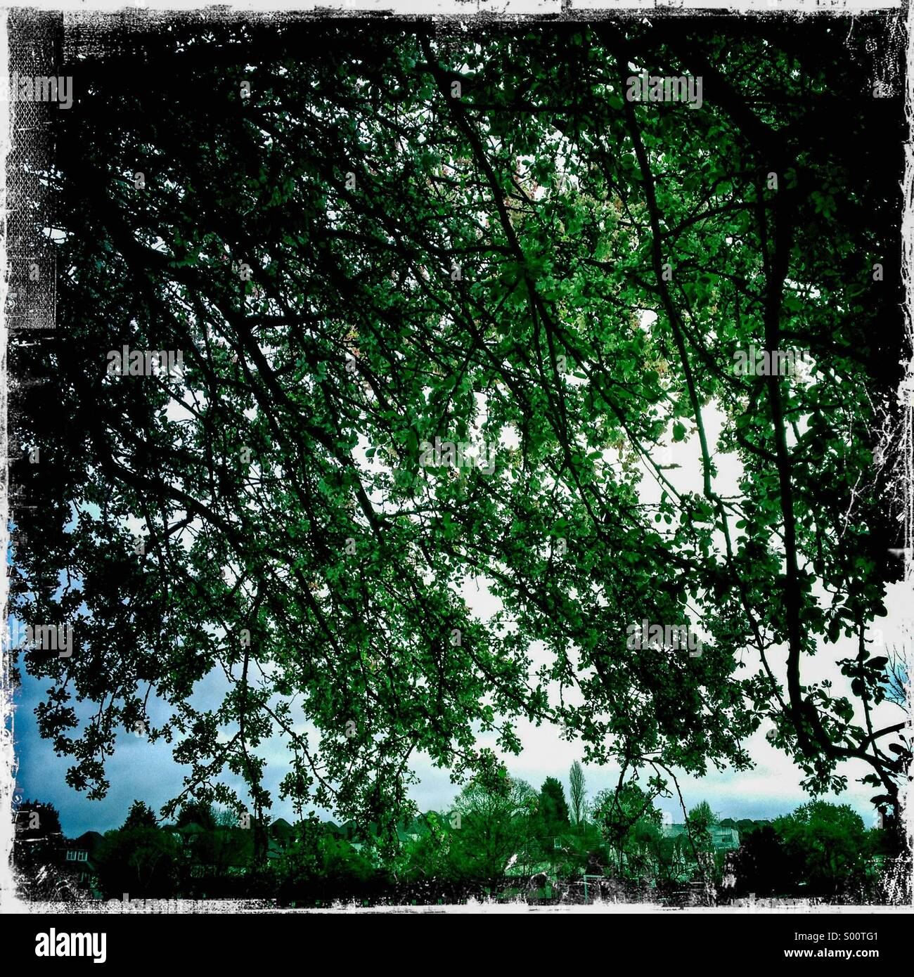 Looking up through oak tree branches. Hipstamatic  photo with white borders. - Stock Image