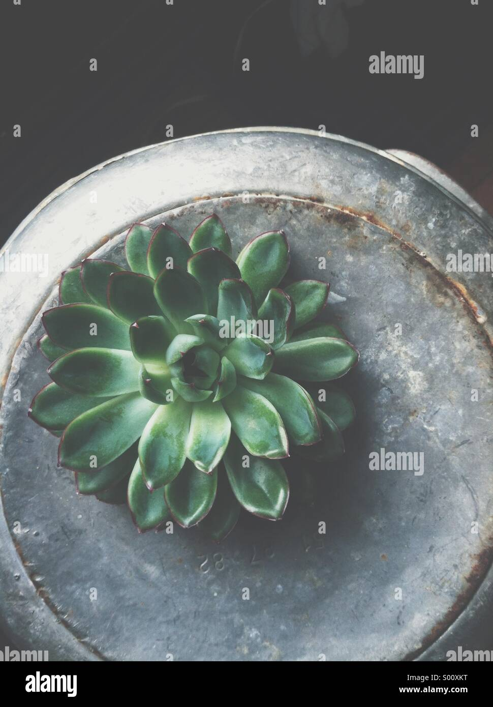Succulent on metal - Stock Image