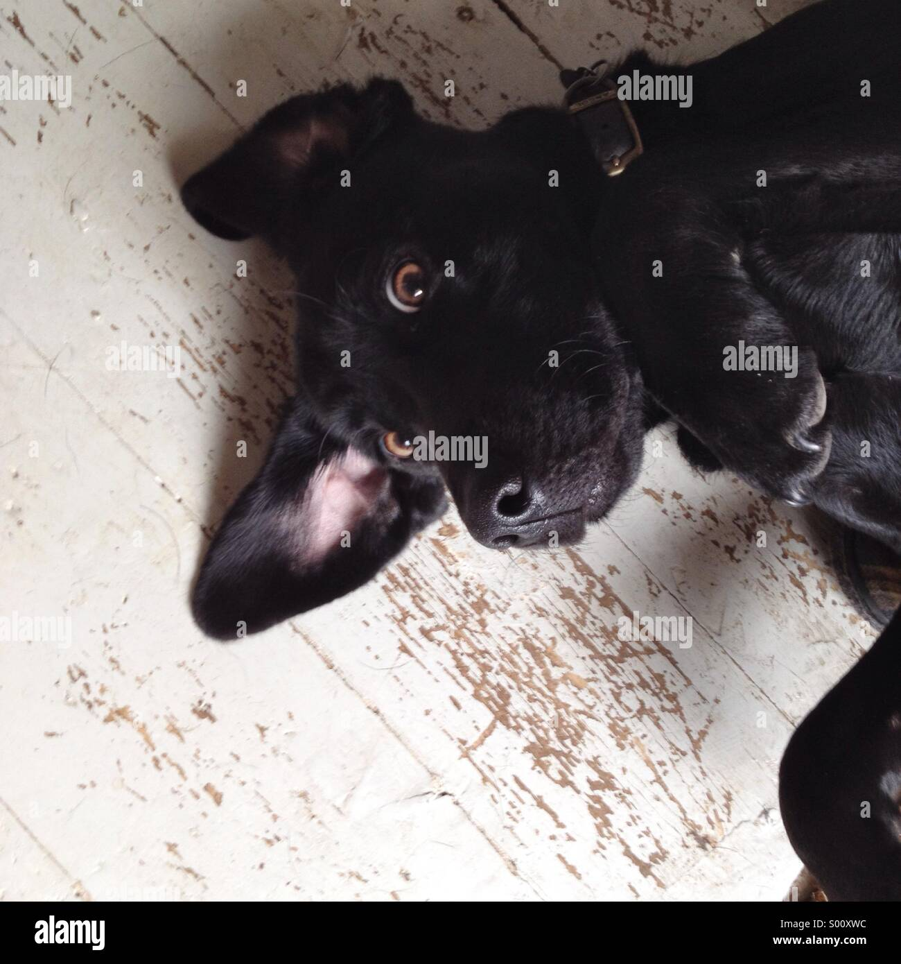 Black Labrador dog on wooden floor looking up at the camera. - Stock Image