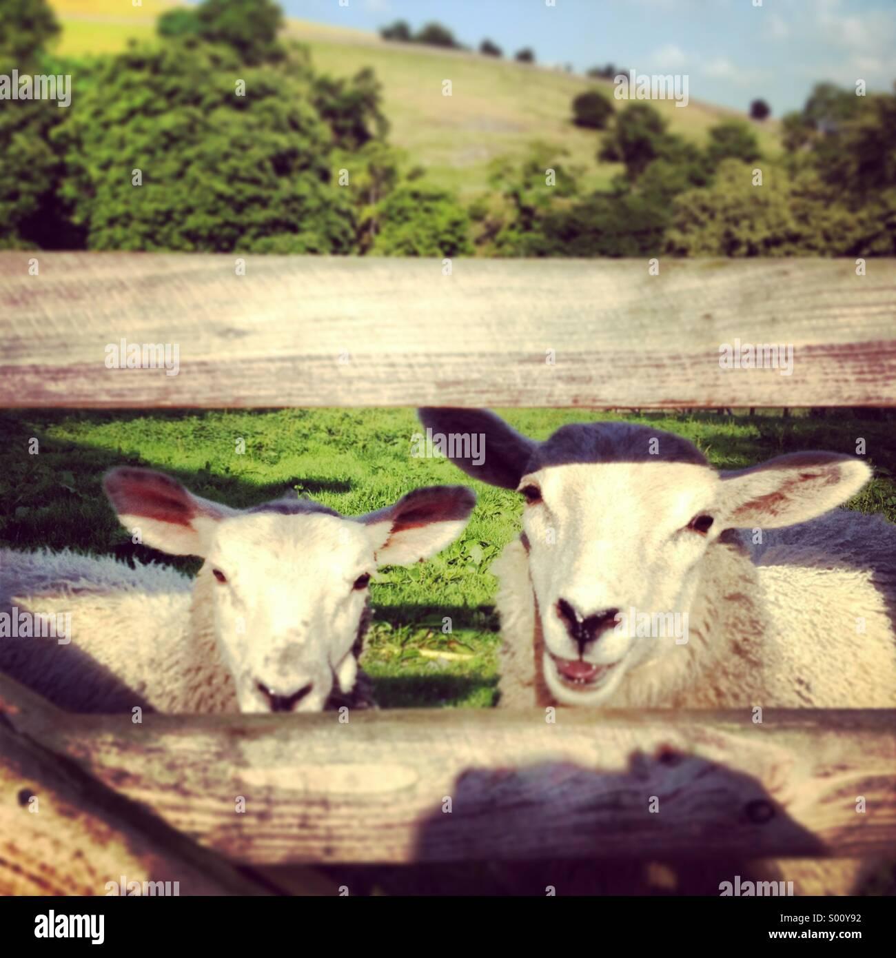 Sheep through fence - Stock Image
