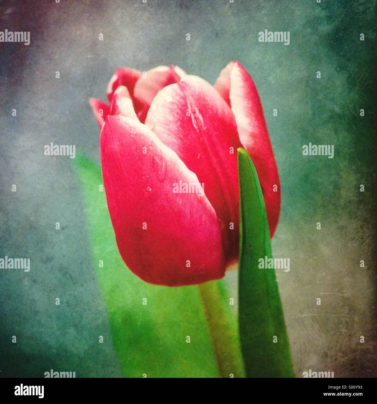 A fresh pink Tulip on its prime - Stock Image