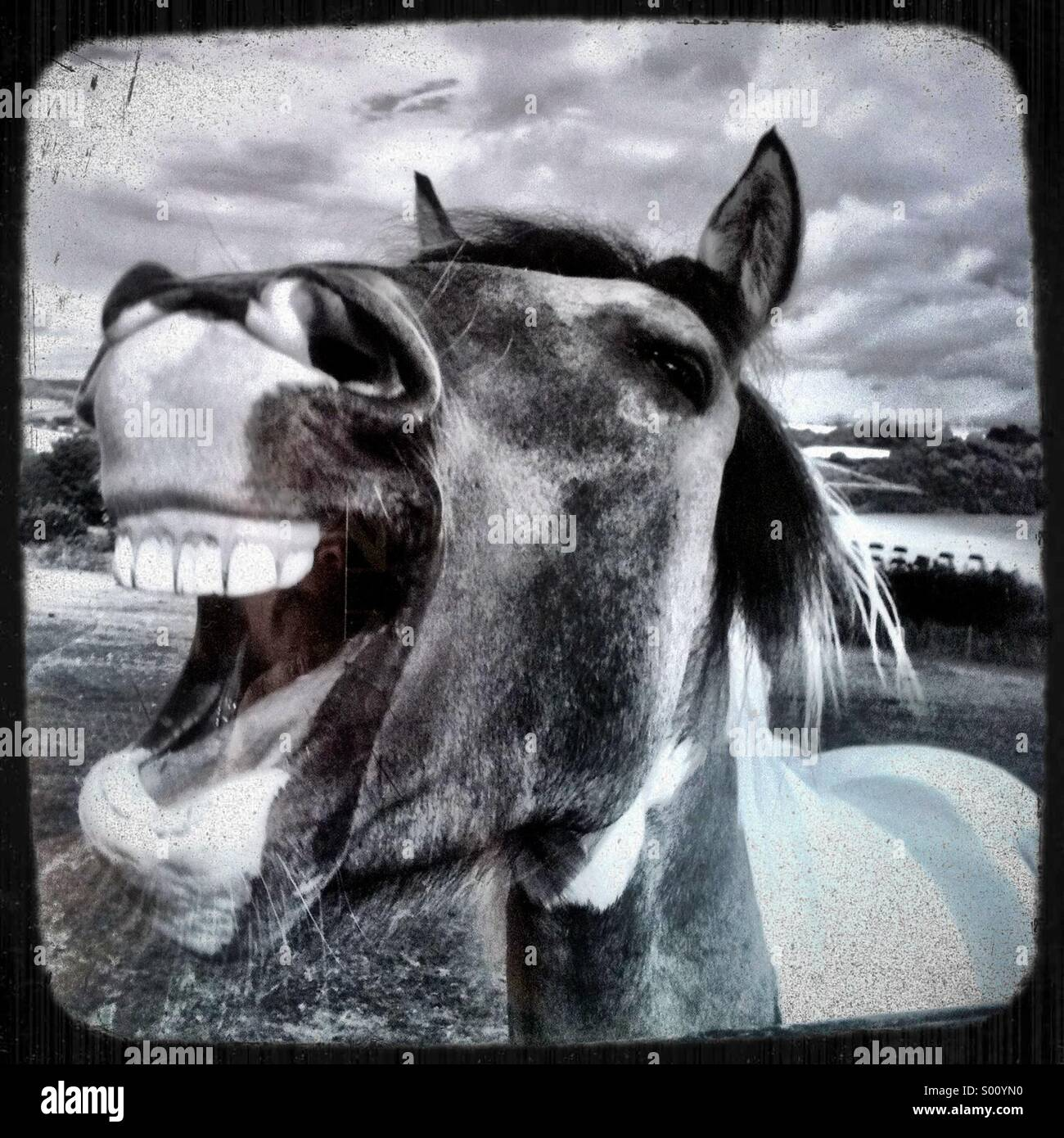 Laughing horse - Stock Image