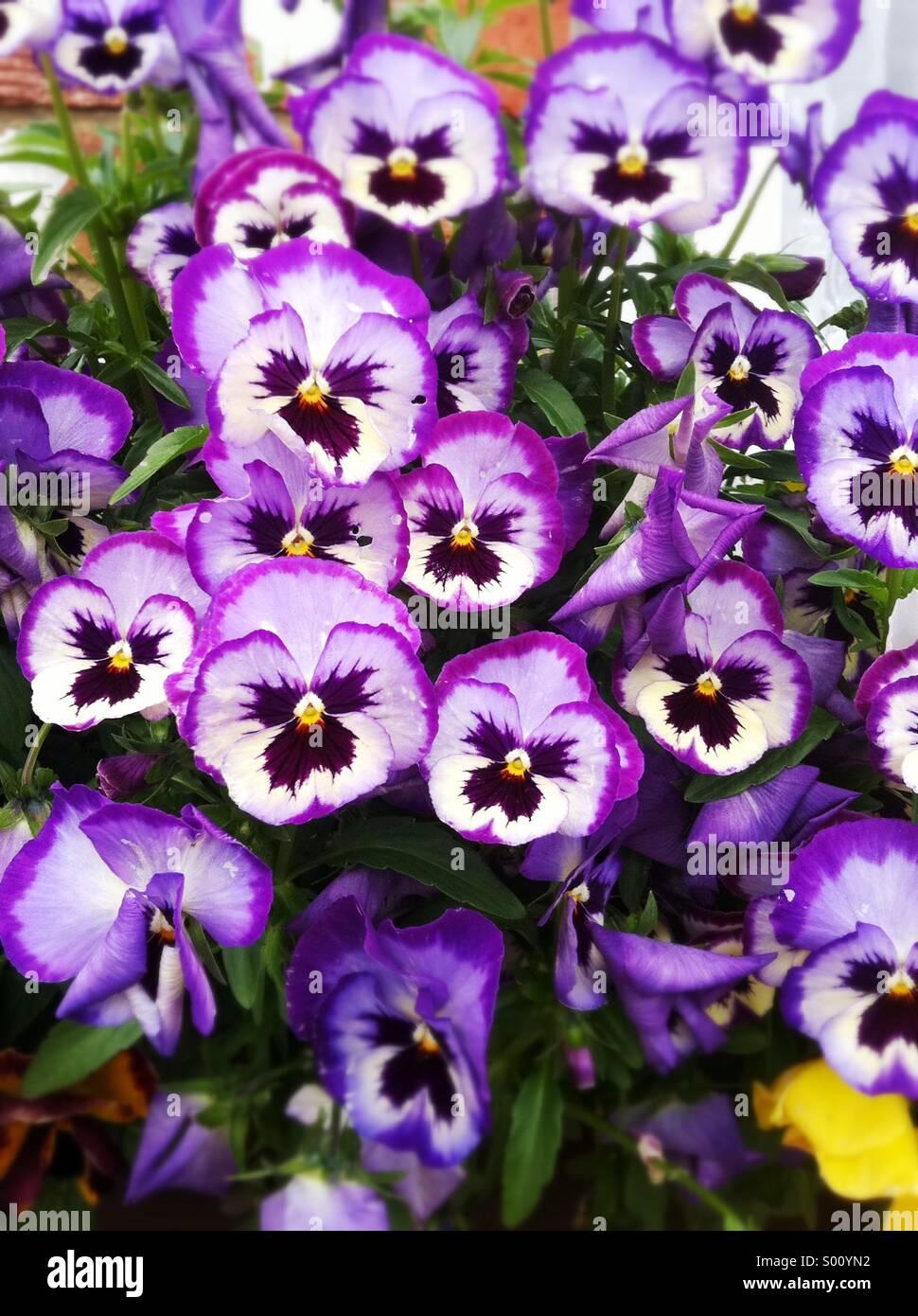 Purple pansy flowers - Stock Image