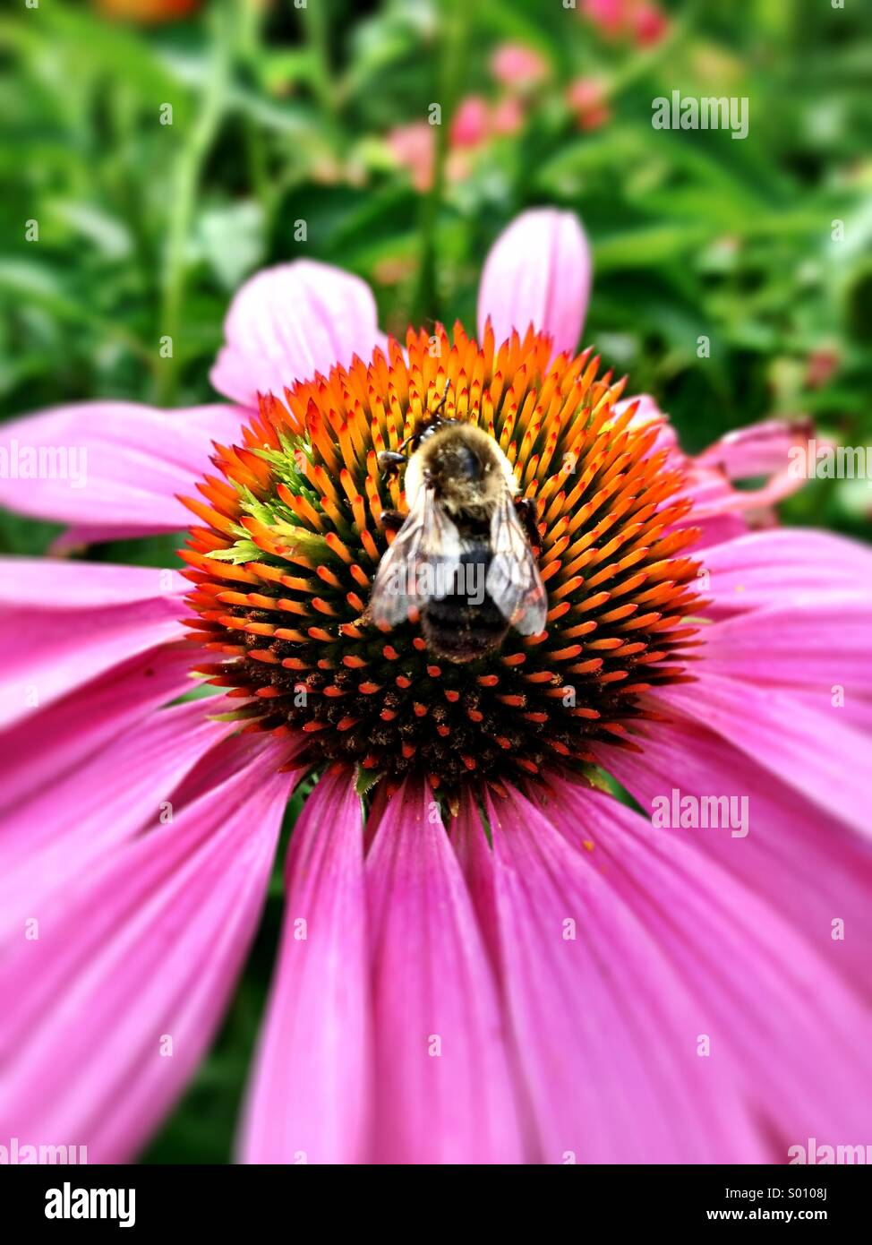 A bee sits on a pink flower. - Stock Image