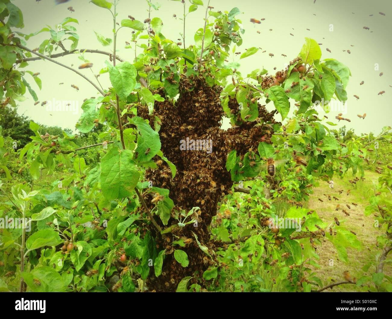 Honey Bee Swarm (Apis Mellifera) - Stock Image