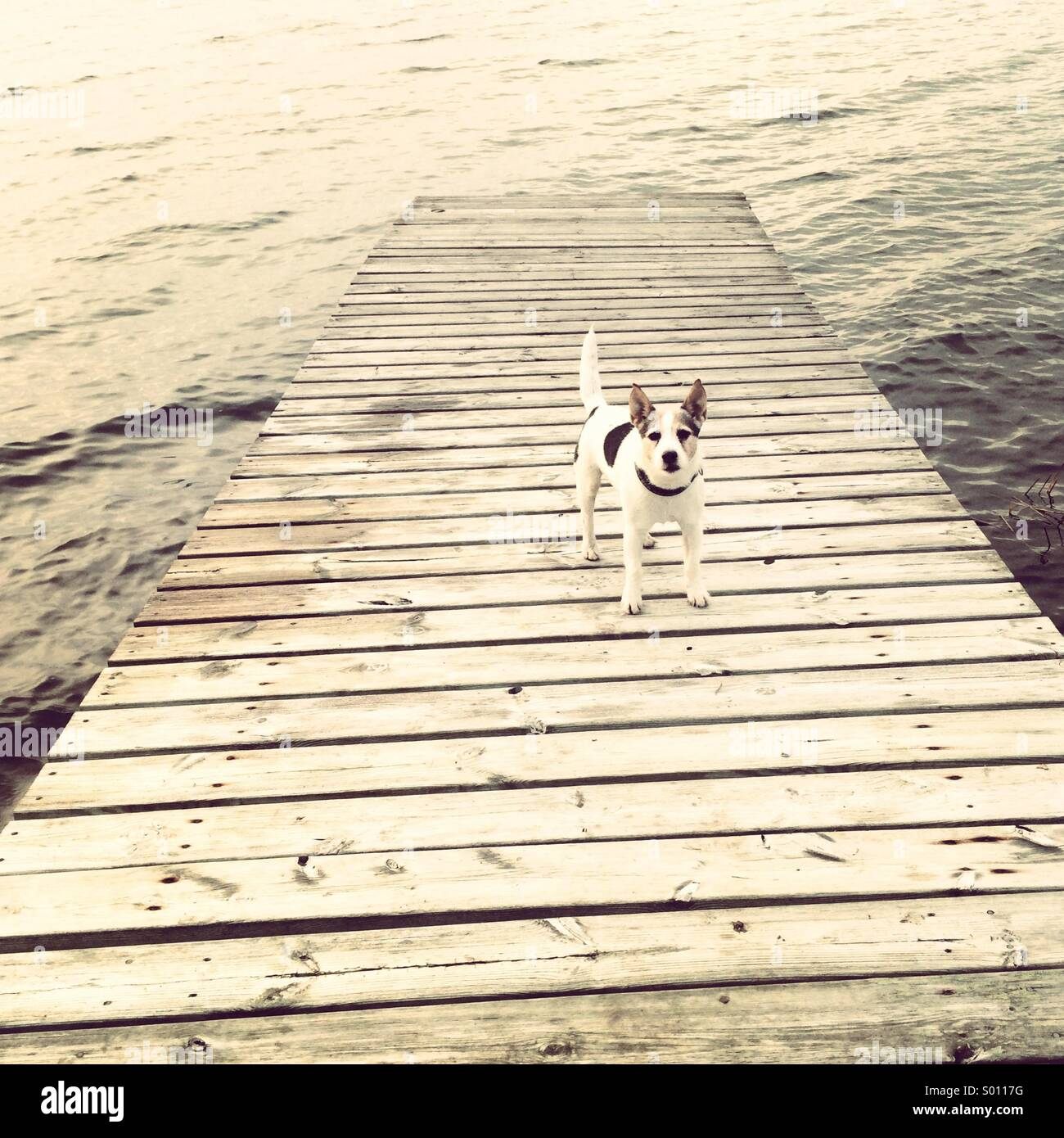 Jack Russel dog on a pier - Stock Image
