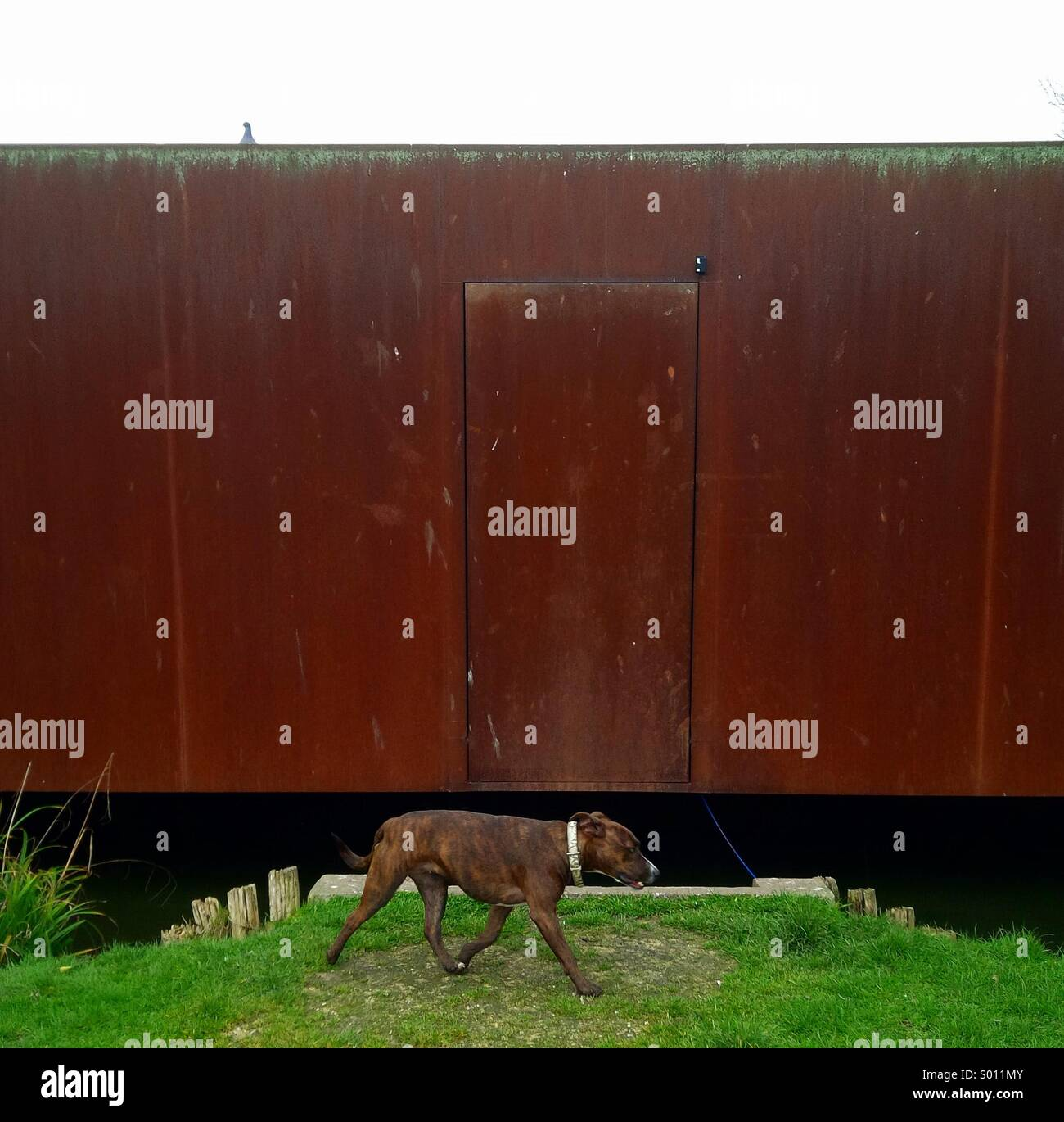 Pit bull dog, rusty metal wall and a pigeon in a London park. - Stock Image