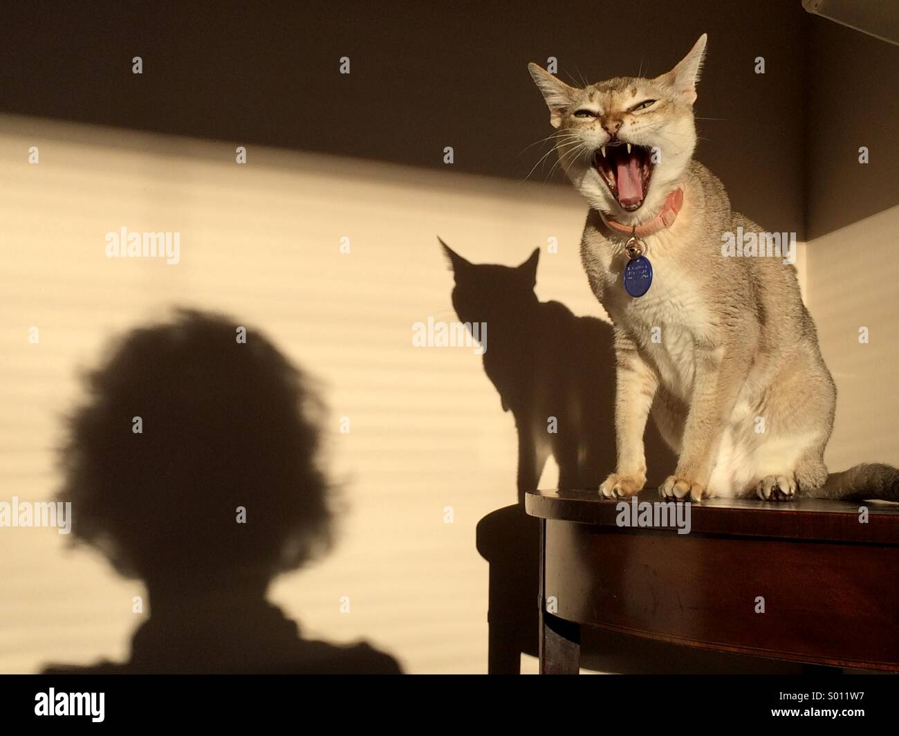 Cat yawning hissing at person seen as shadow - Stock Image