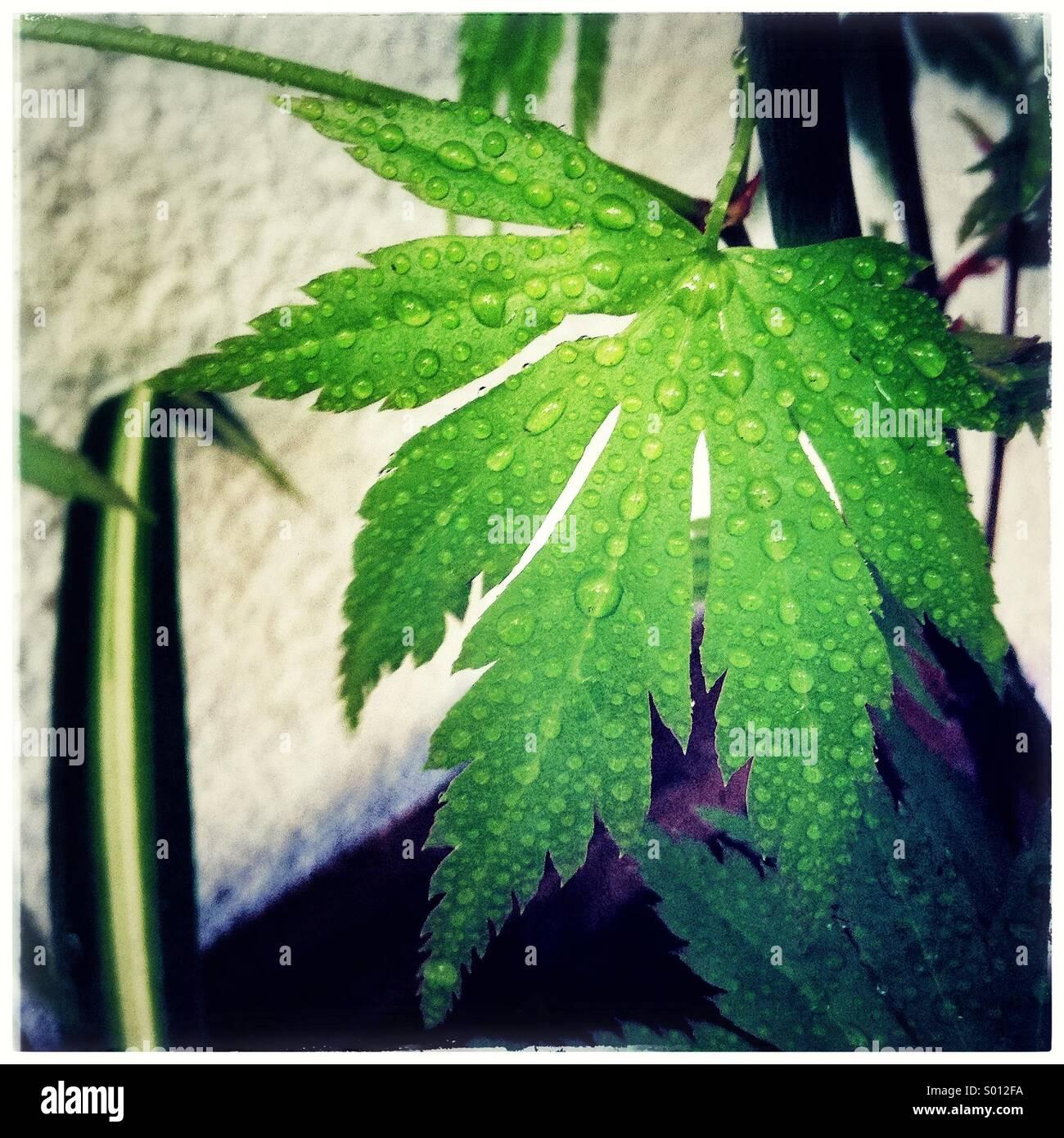 Green japanese leaf. Acer japonicum green leaf. - Stock Image