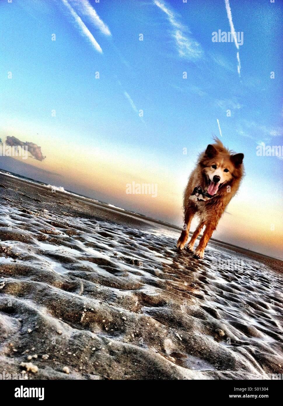 Dog on Beach - Stock Image