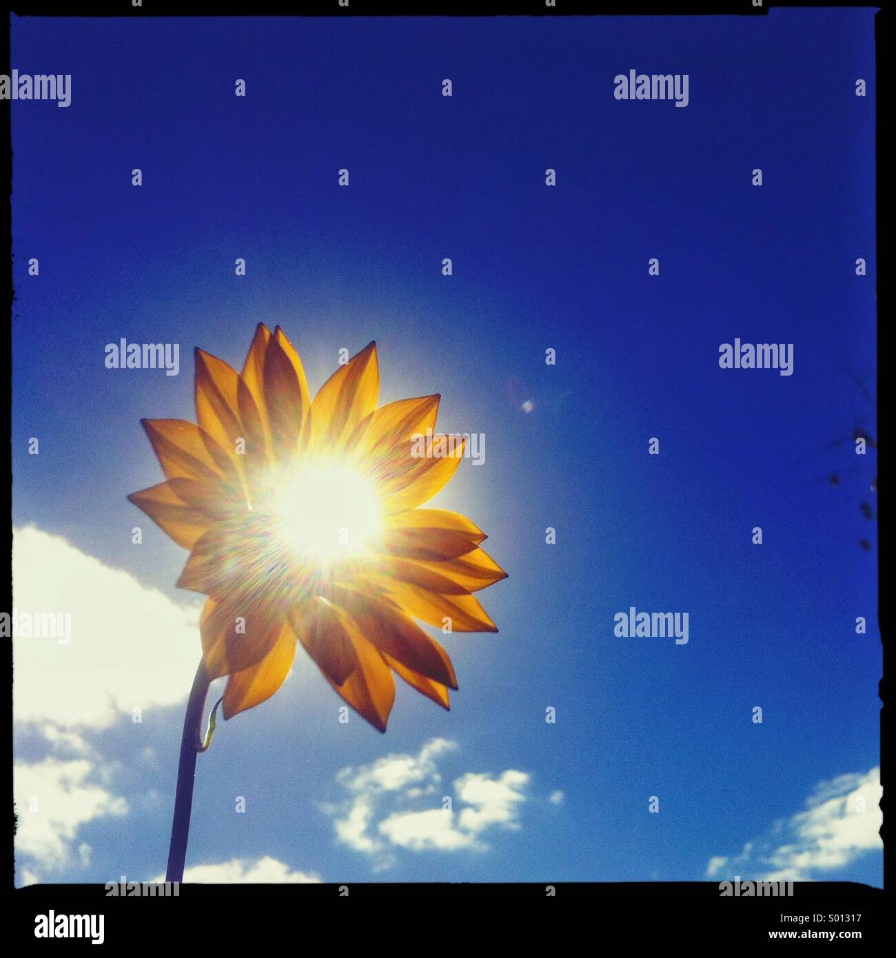 Sun shining through a flower - Stock Image