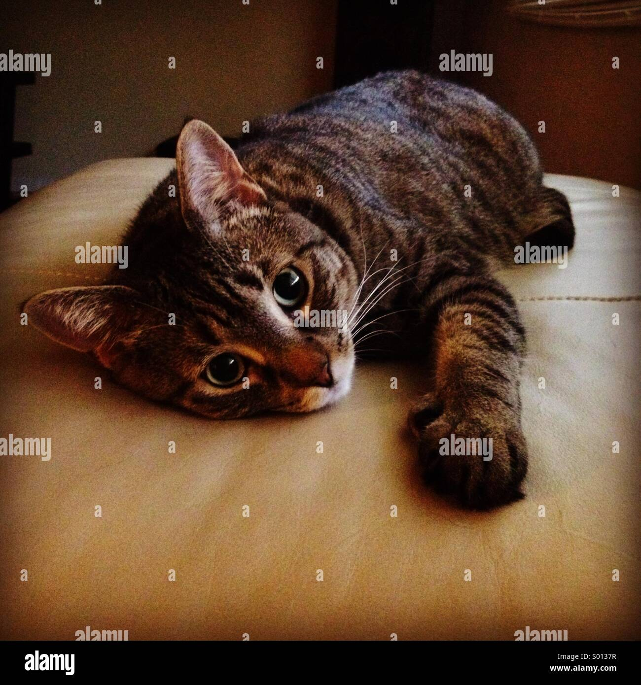 Tabby Bengal mix cat on her leather ottoman - Stock Image