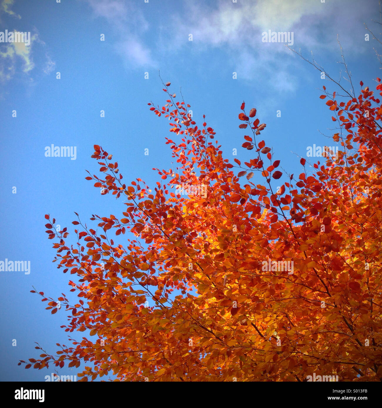 Fiery autumnal leaves on tree against a bright blue sky - Stock Image
