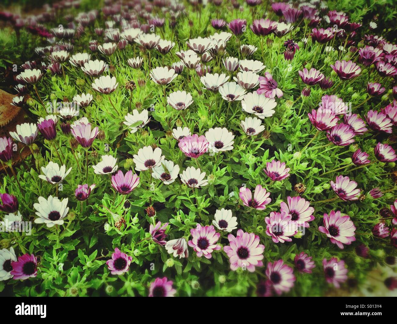 Bed of Margarita flowers, flowering abundant. - Stock Image