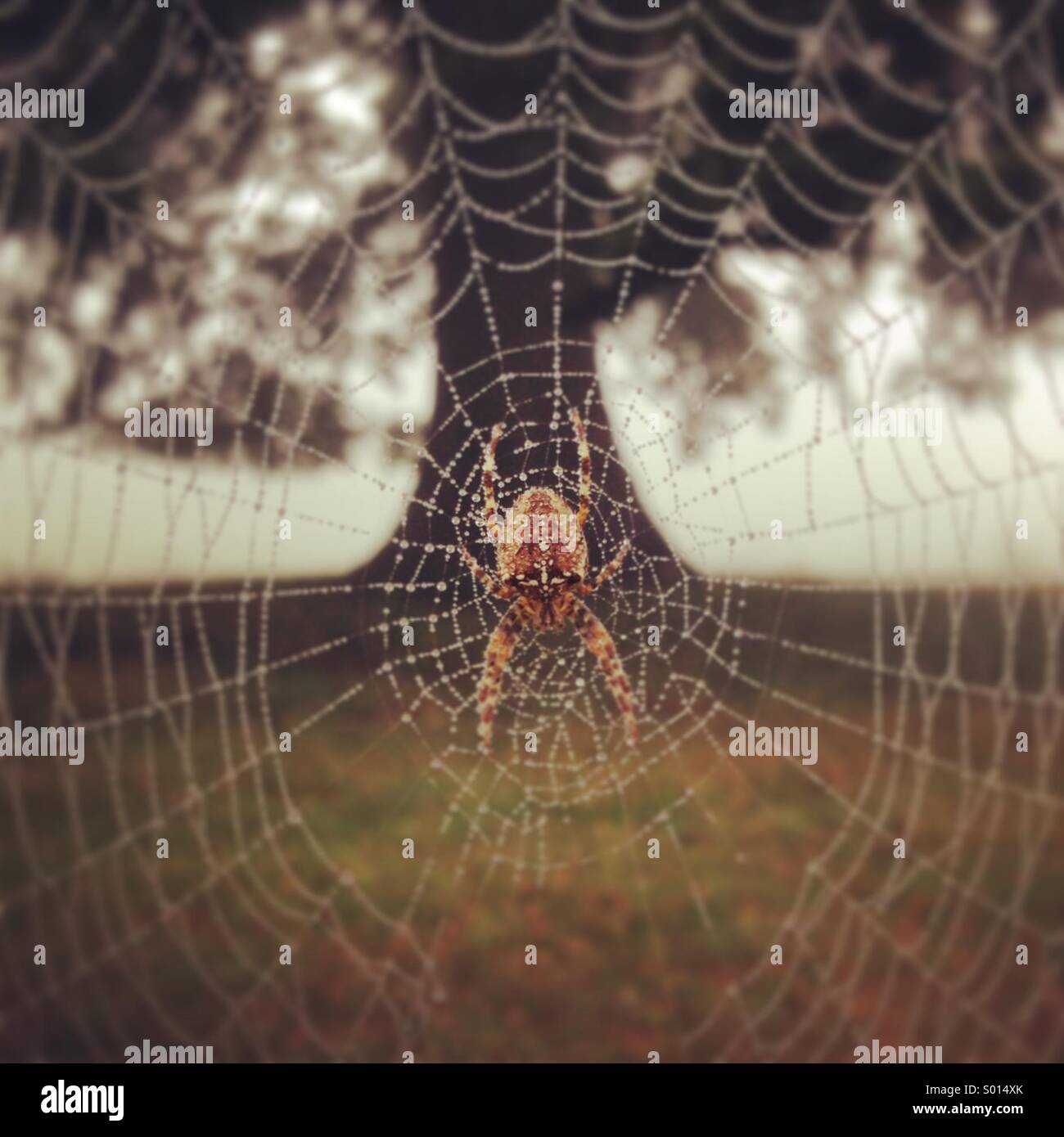 Orb spider - Stock Image