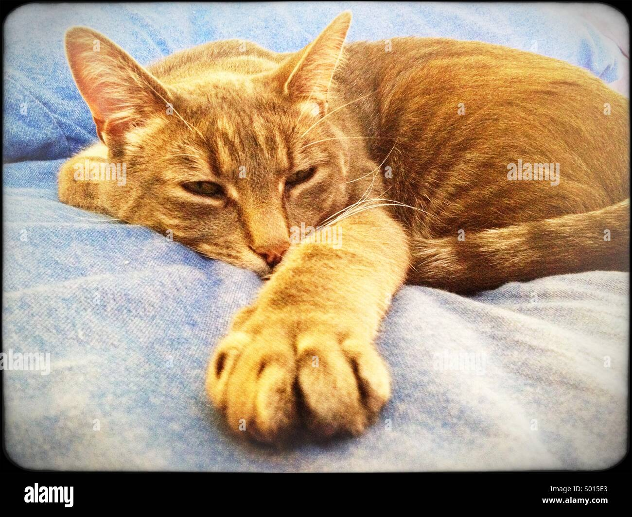 Tabby cat dozing on blue sheets - Stock Image