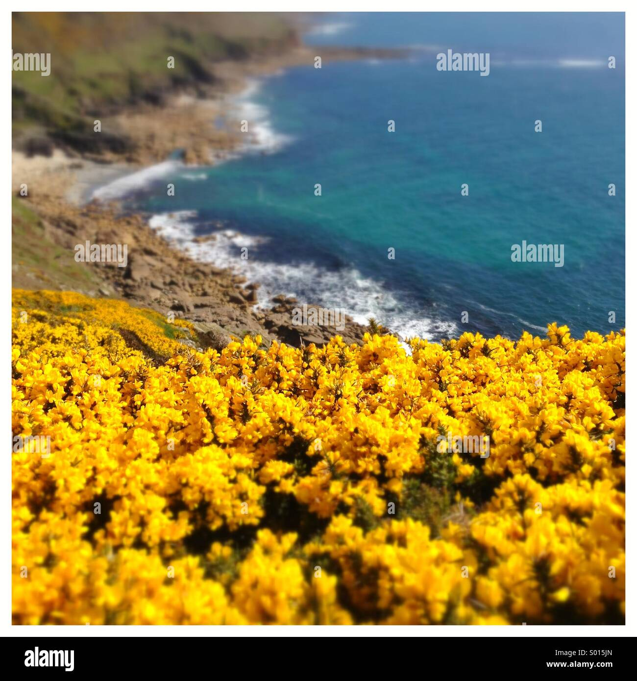 Yellow gorse flowers on costal cliff top - Stock Image