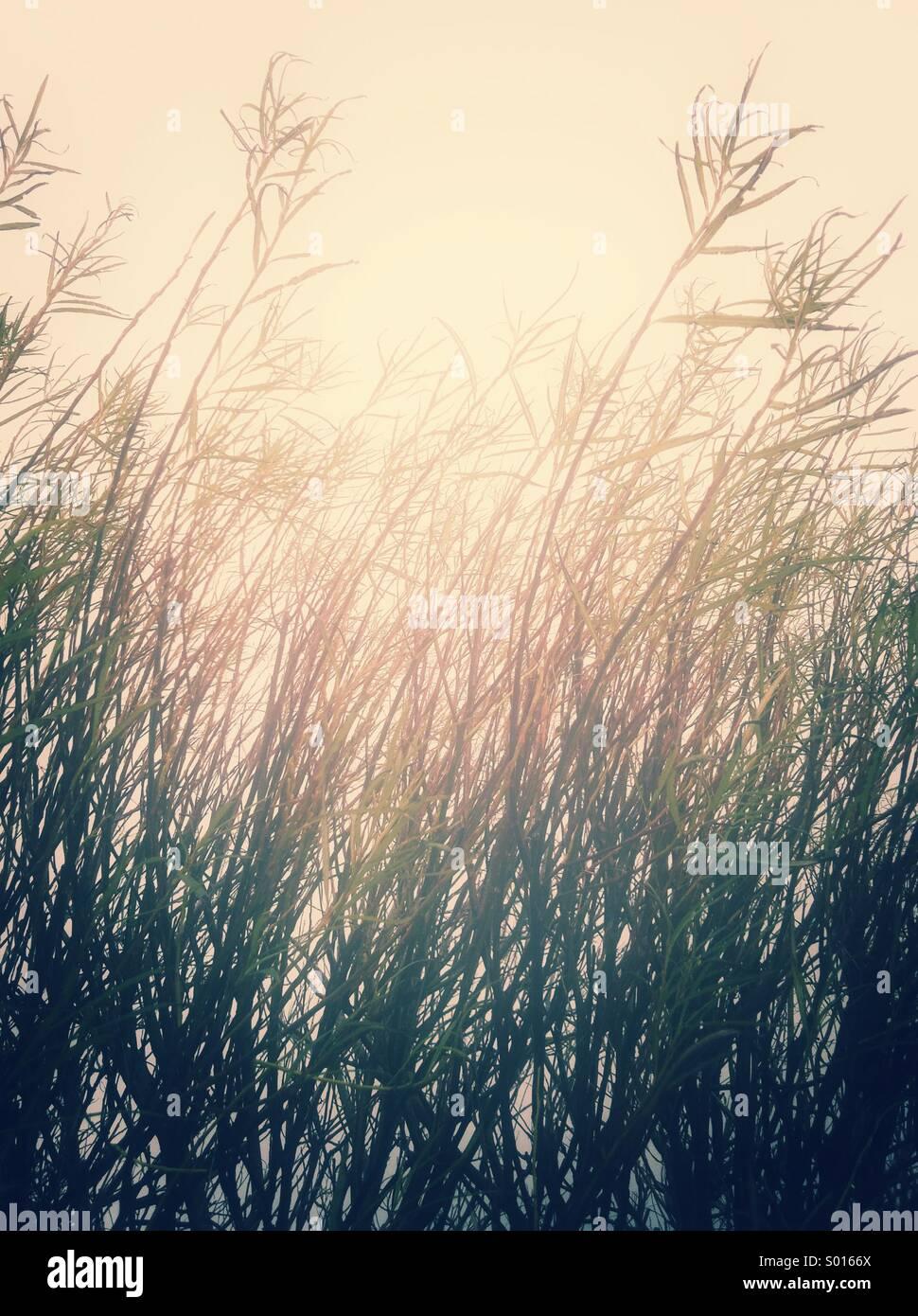 Wild grass - Stock Image