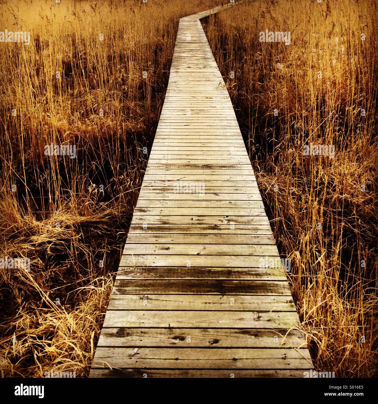 A wooden walkway through fields of reeds - Stock Image