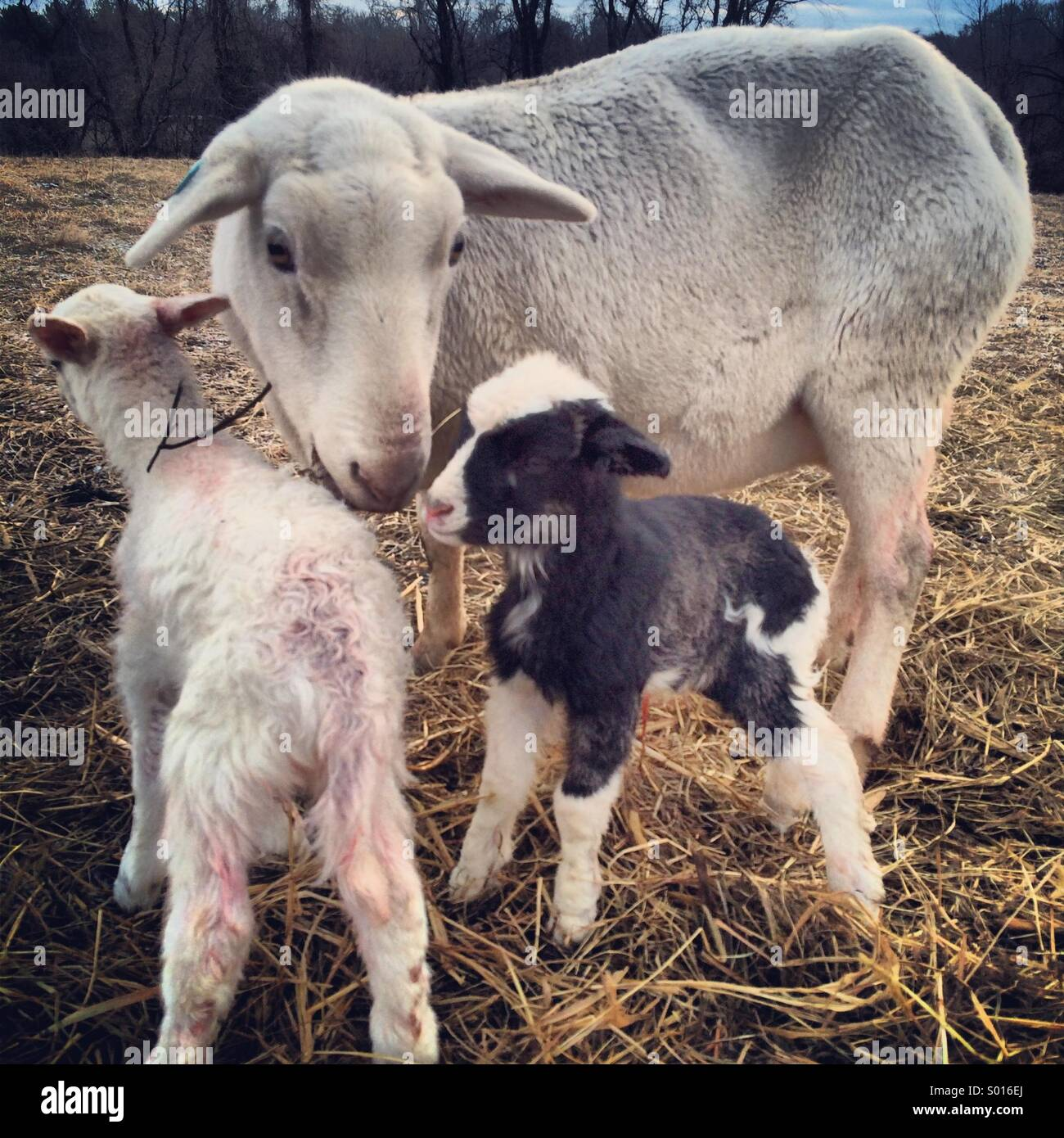 Mother sheep with babies - Stock Image
