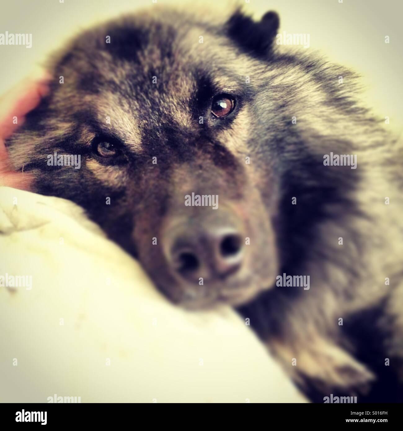 Eurasier Dog Resting On A Pillow Stock Photo Alamy