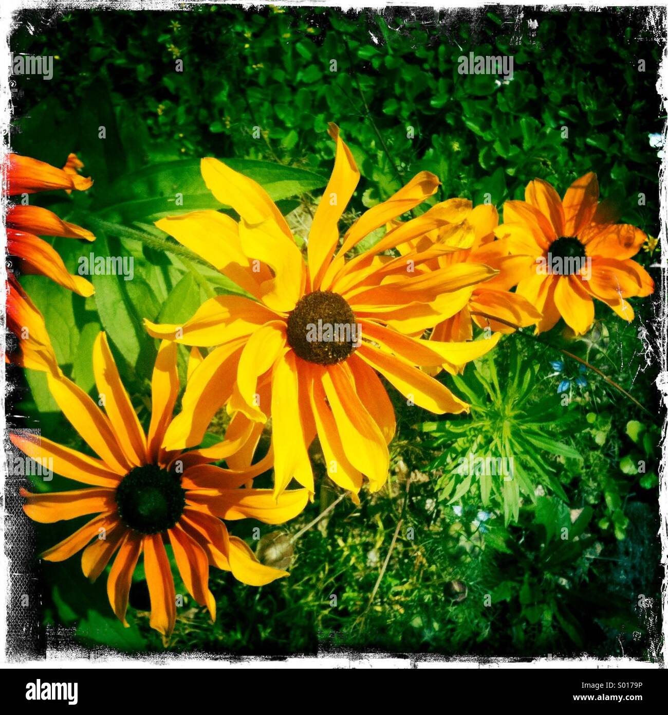 Impressionist composition of Yellow flowers golden petals with green leaves - Stock Image