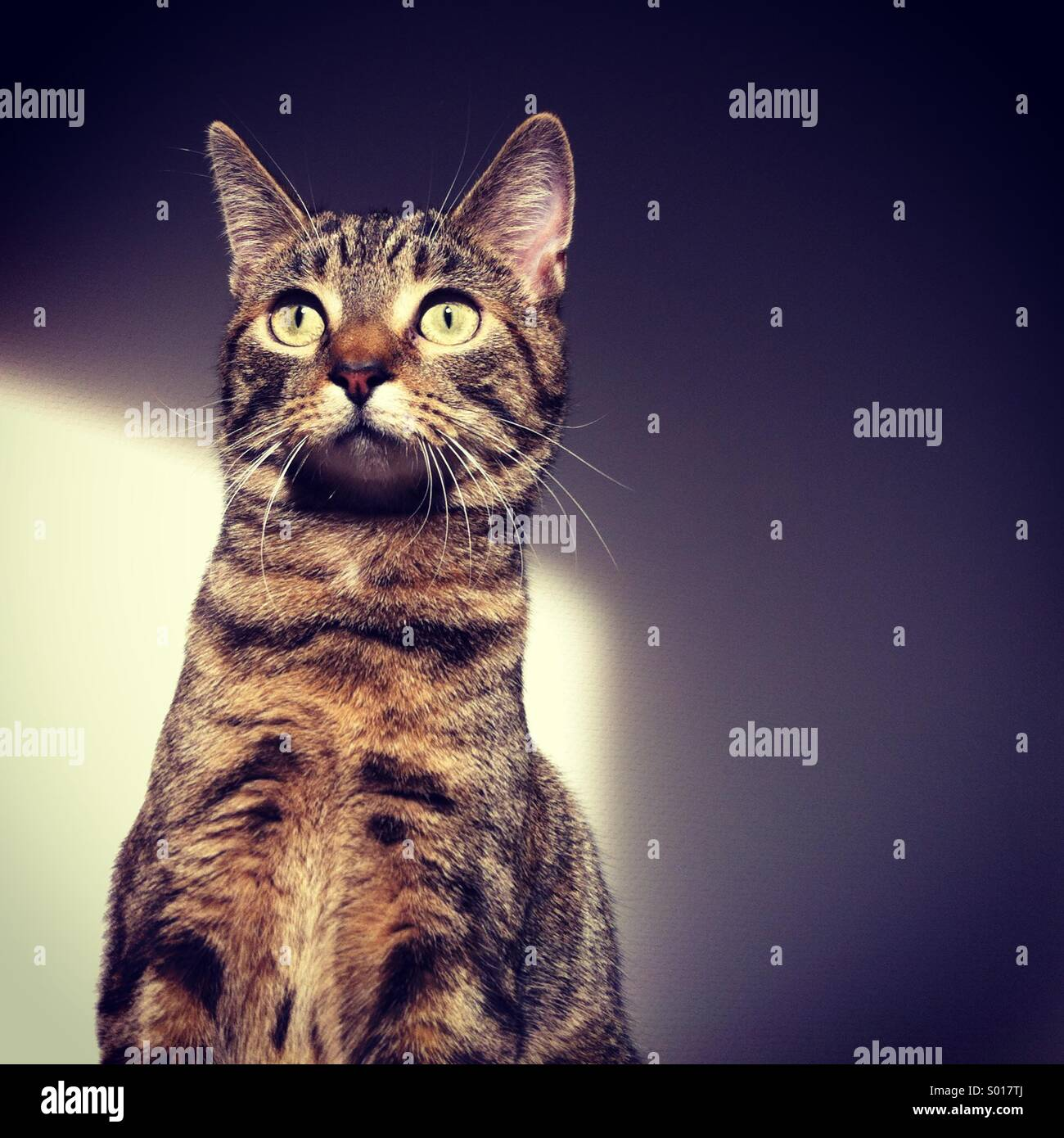Young, domestic Tabby cat pet sitting beside white wall, with shade and light. - Stock Image