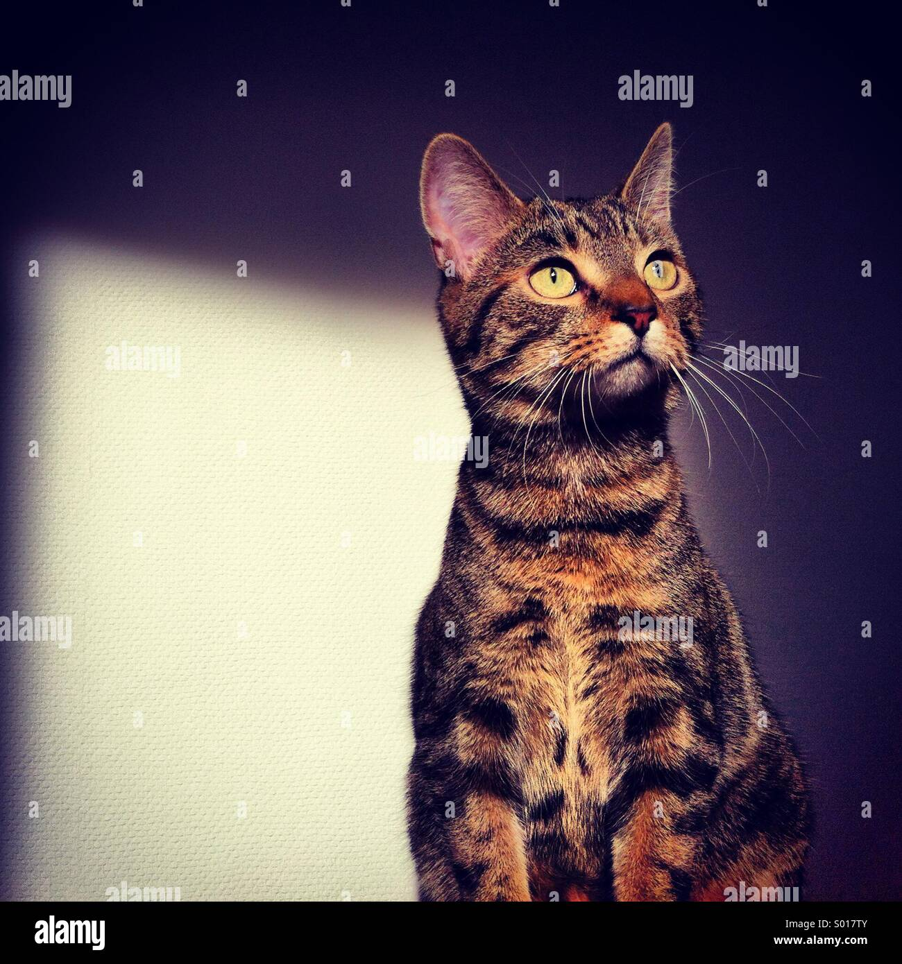 Domesticated young kitten tabby cat pet, sitting alert in sunlight at home. Stock Photo